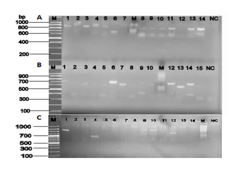 Image of agarose gel amplification of PCR products for selected ESBL